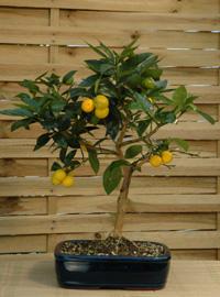 Il piacere del giardinaggio for Bonsai limone vendita
