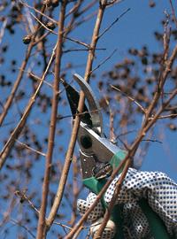 Alberi e arbusti potature al termine lavori di for Potatura rincospermo