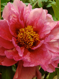Peonie e rose in mostra