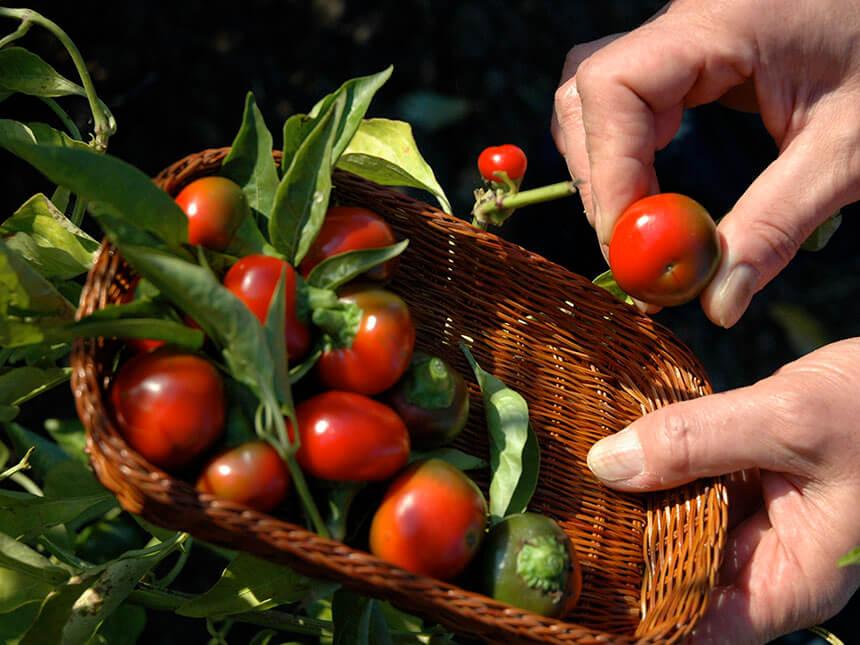 I peperoncini ciliegia facilissimi orto in vaso e for Acquisto piante peperoncino