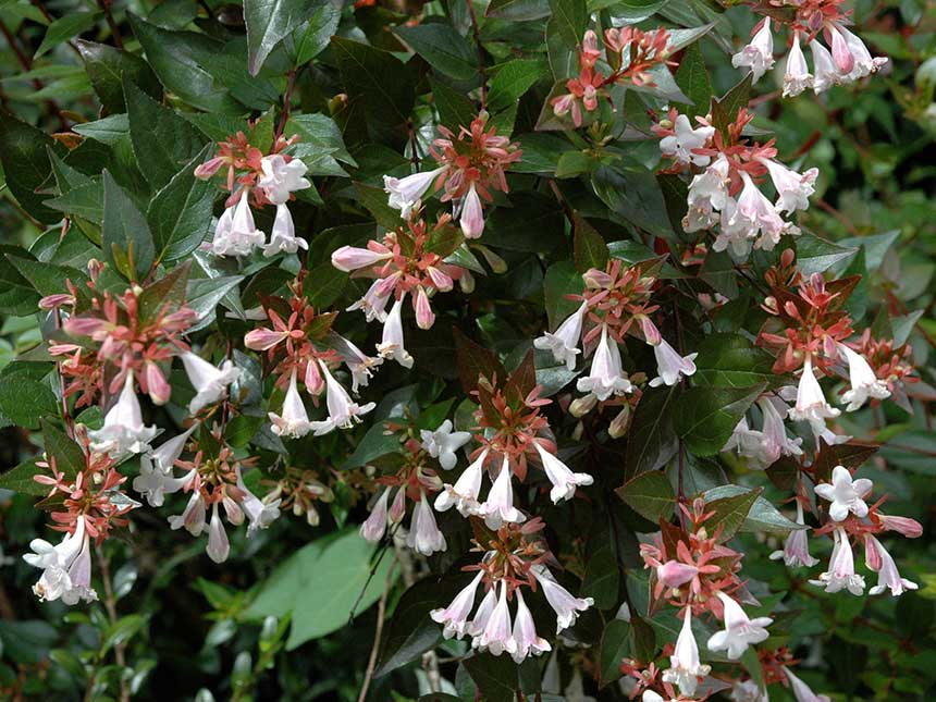 Abelia abelia floribunda e altre specie for Arbusti sempreverdi in vaso