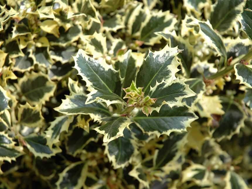 Agrifoglio ilex aquifolium - Sughero pianta da giardino ...