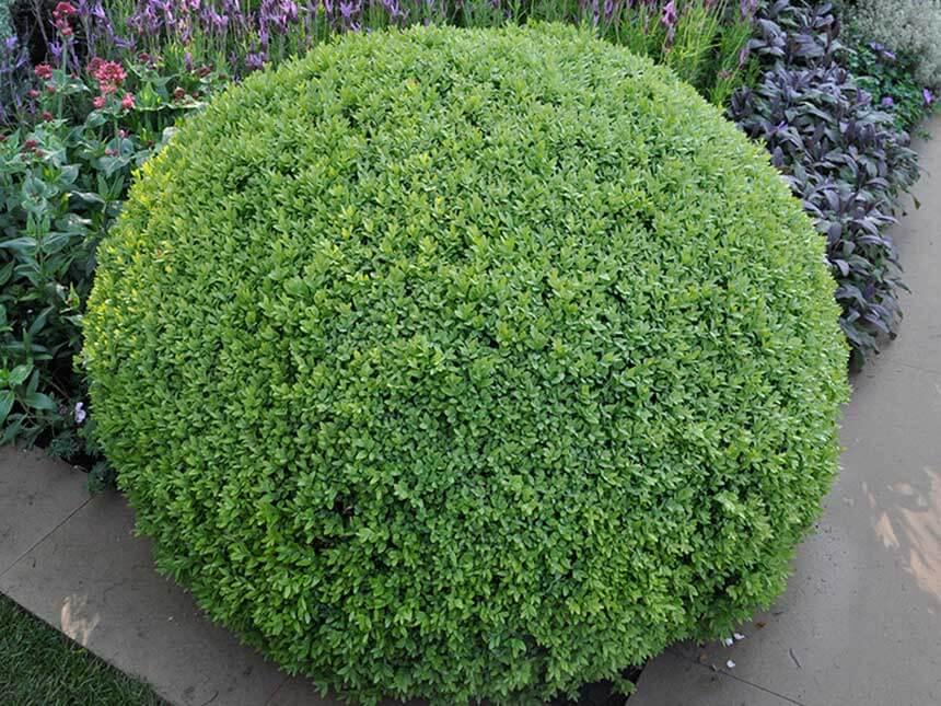 Bosso mortella buxus sempervirens for Bosso in vaso