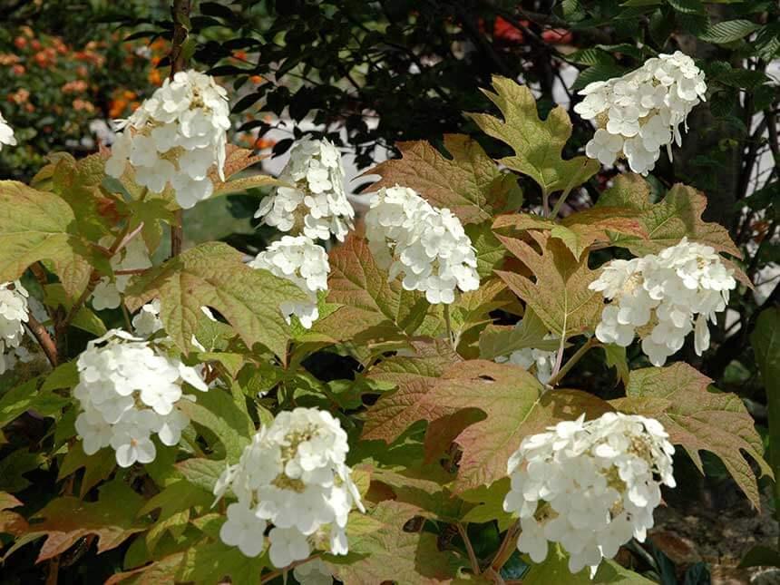 Ortensia a foglia di quercia hydrangea quercifolia for Ortensia quercifolia
