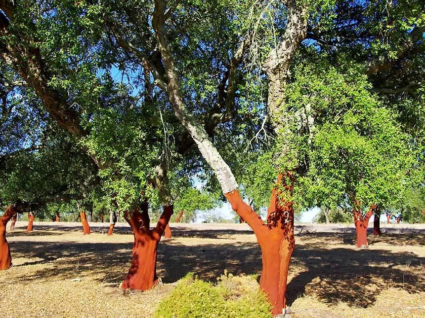 Quercia da sughero quercus sube - Sughero pianta da giardino ...