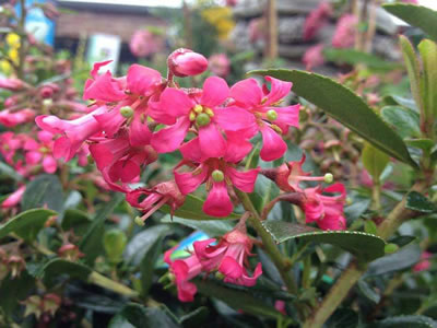 Escallonia