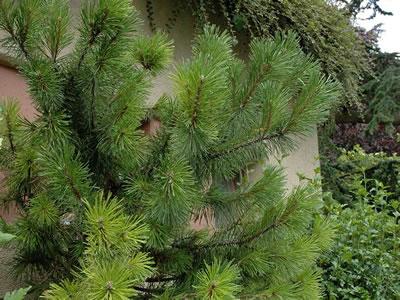 Quercia da sughero quercus sube - Pino nano da giardino ...