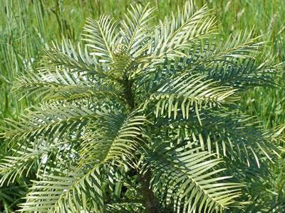 Quercia da sughero quercus sube for Quercia sempreverde