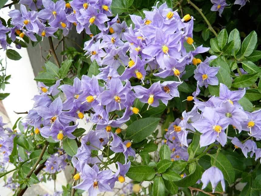 Solanum da fiore solanum rantonettii s bonariense for Pianta solanum