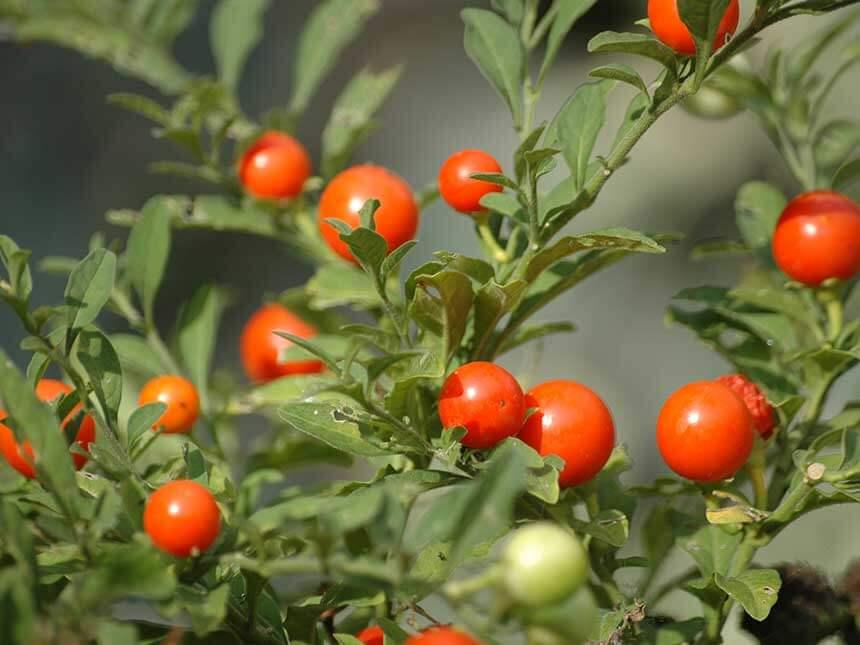 Solanum da bacca solanum capsicastrum s pseudocapsicum for Pianta ornamentale con bacche rosse