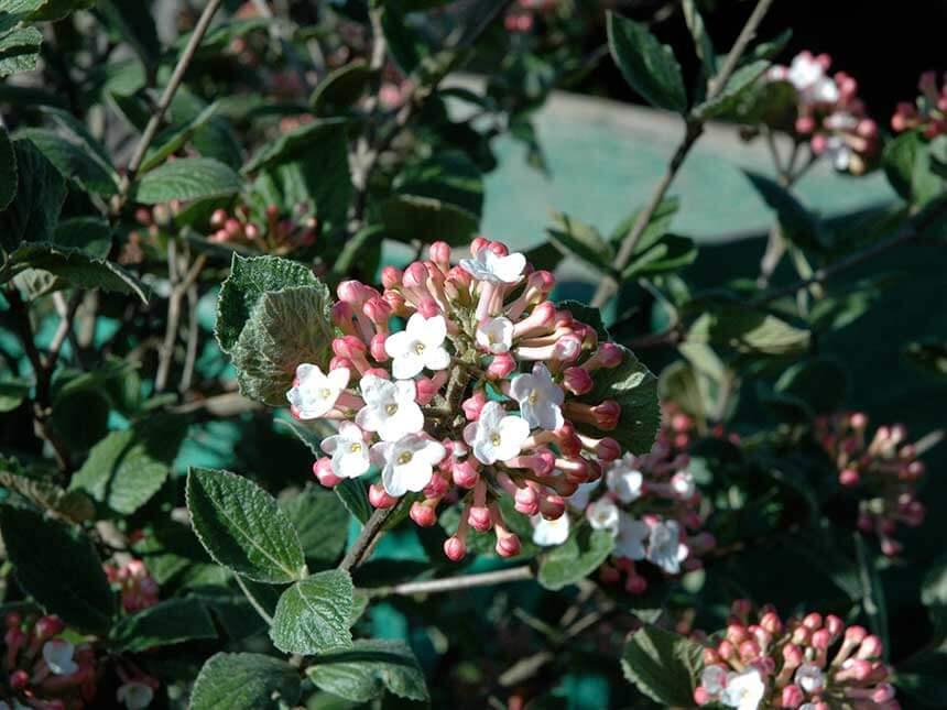 Lentaggine viburnum tinus for Cespugli fioriti perenni da giardino