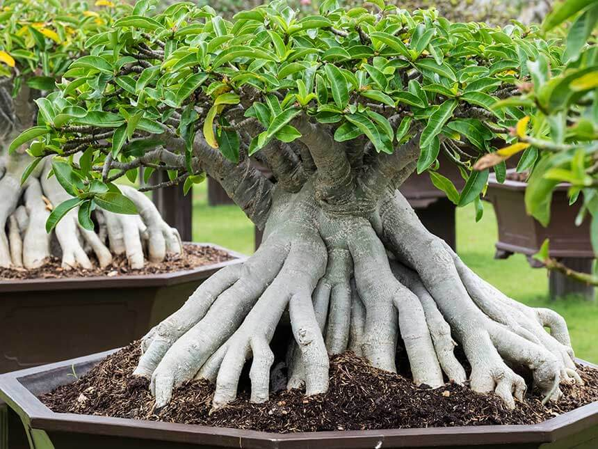 Ficus di Formosa bonsai
