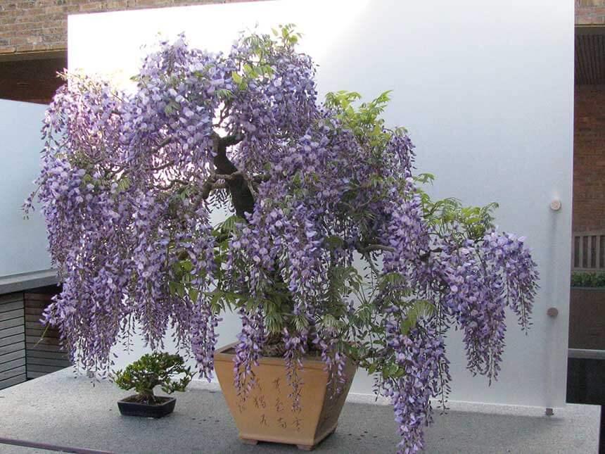 glicine bonsai wisteria floribunda w sinensis