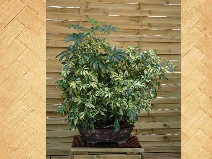Schefflera bonsai schefflera arboricola - Pianta schefflera ...