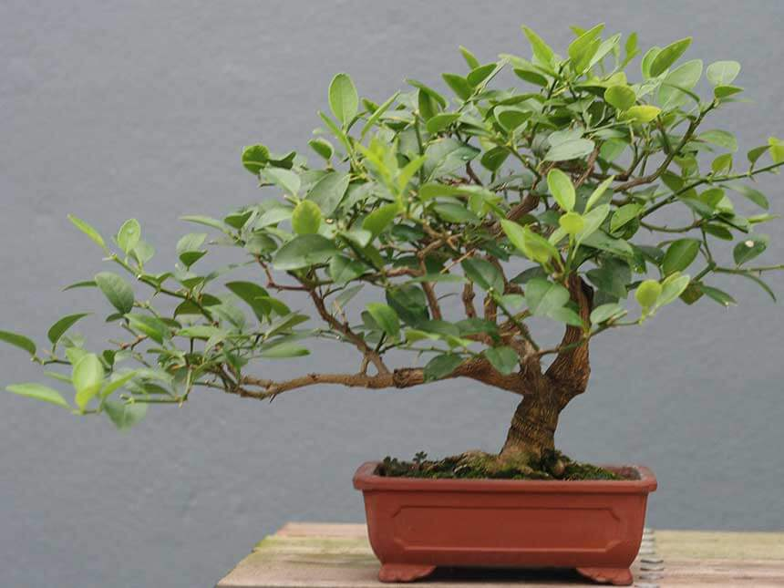 limone bonsai citrus limon