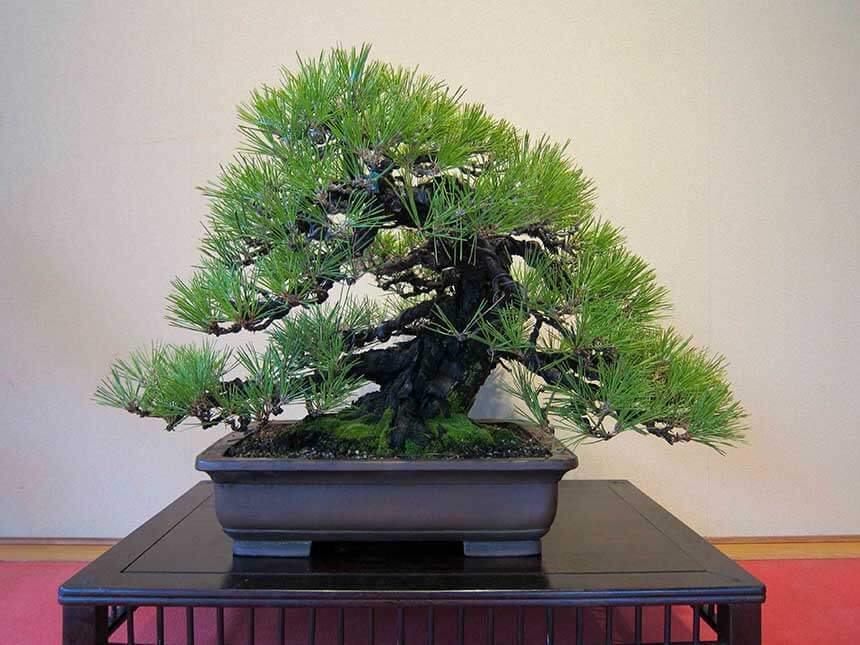 Pino cembro bonsai