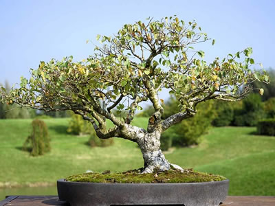 Betulla bonsai