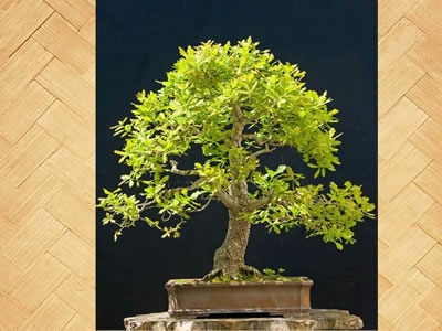 Farnia bonsai