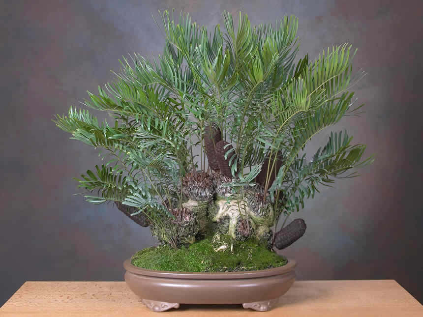 Zamia bonsai