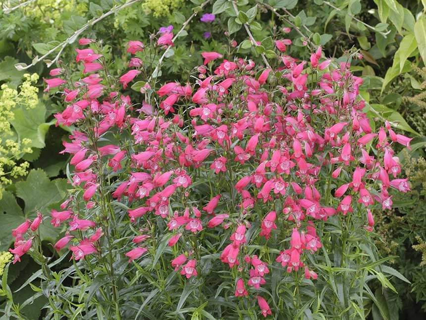 "Penstemon ""Carillo Red"""