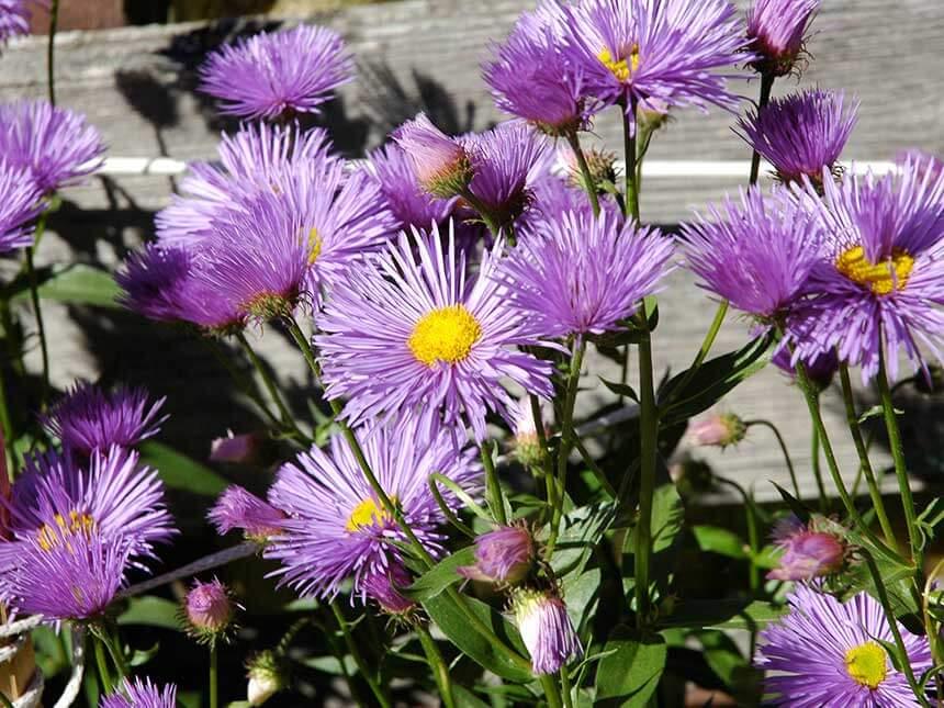 Aster settembrini aster novae angliae e a novi belgi - Settembrini fiori ...