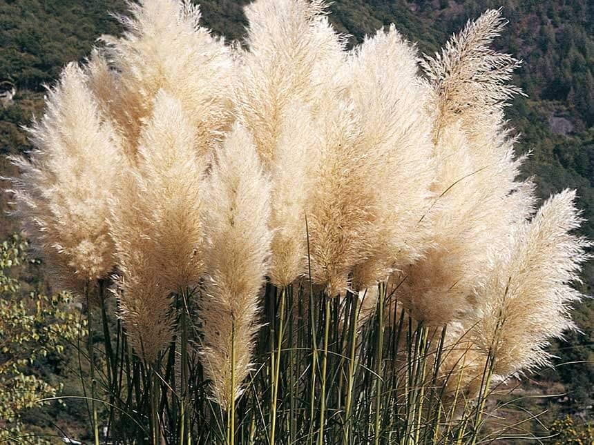 erba della pampa cortaderia selloanaForErba Della Pampas Riproduzione