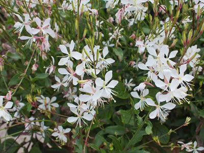 "Gaura ""Sparkle White"""