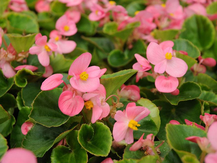 Piante Da Bordura Pieno Sole : Begonia a fiori piccoli semperflorens