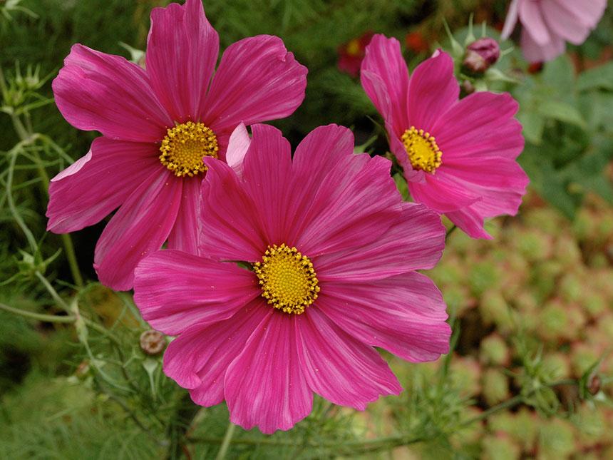 Cosmea Cosmos Bipinnatus Giardinaggiomobi