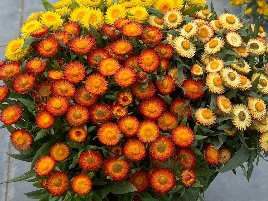 Fiore di carta elicriso bracteato helichrysum for Piante annuali