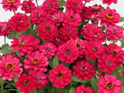 "Zinnia ""Profusion Double Hot Cherry"""