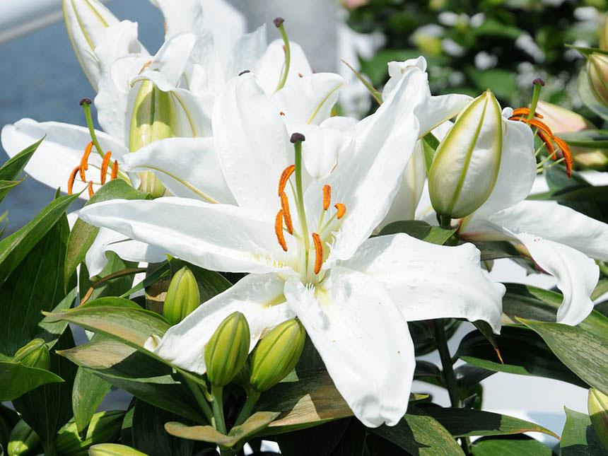 Giglio lilium for Lilium in vaso