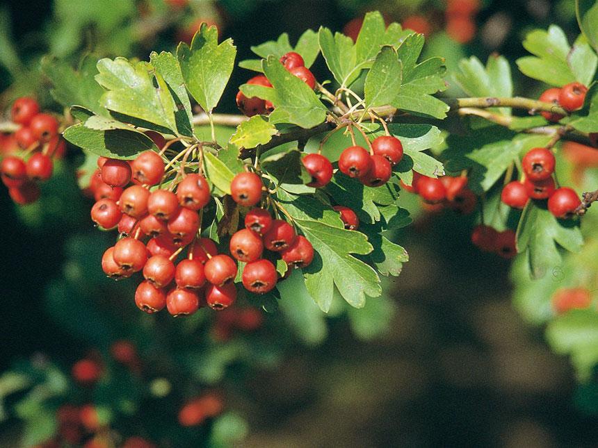 Azzeruolo da frutto crataegus azarolus for Piante da frutto vaso