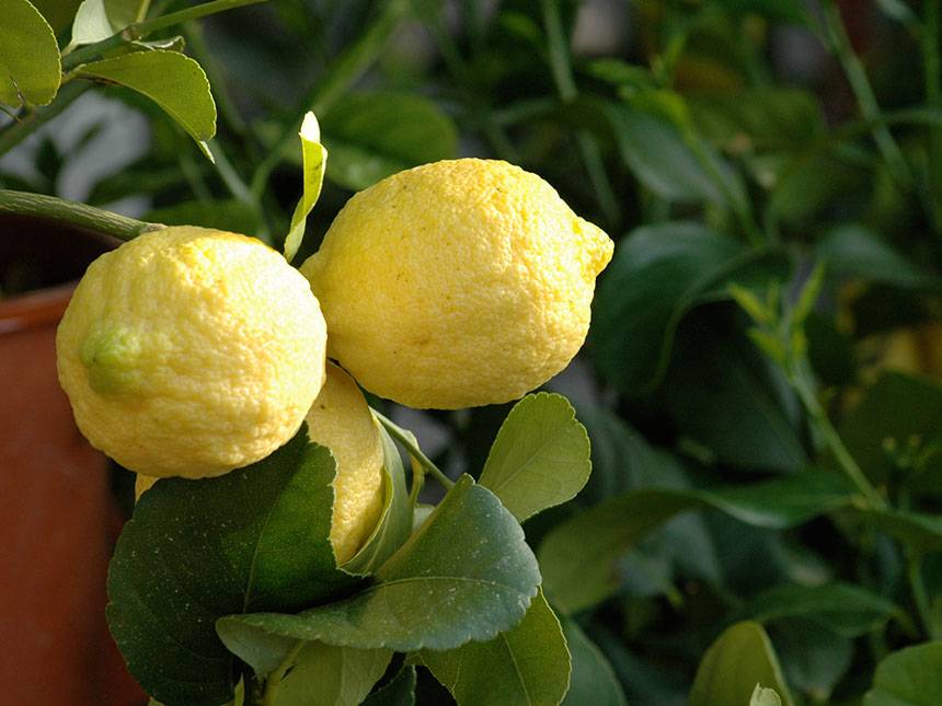 Limone citrus limon for Malattie del limone in vaso