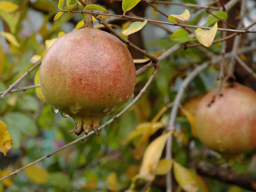 Melograno da frutto punica granatum for Piante da frutto che resistono al freddo