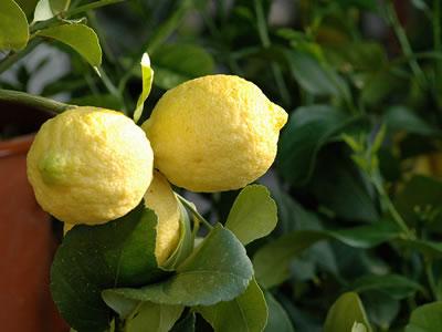 Giuggiolo zizyphus jujuba for Piante da frutto kiwi