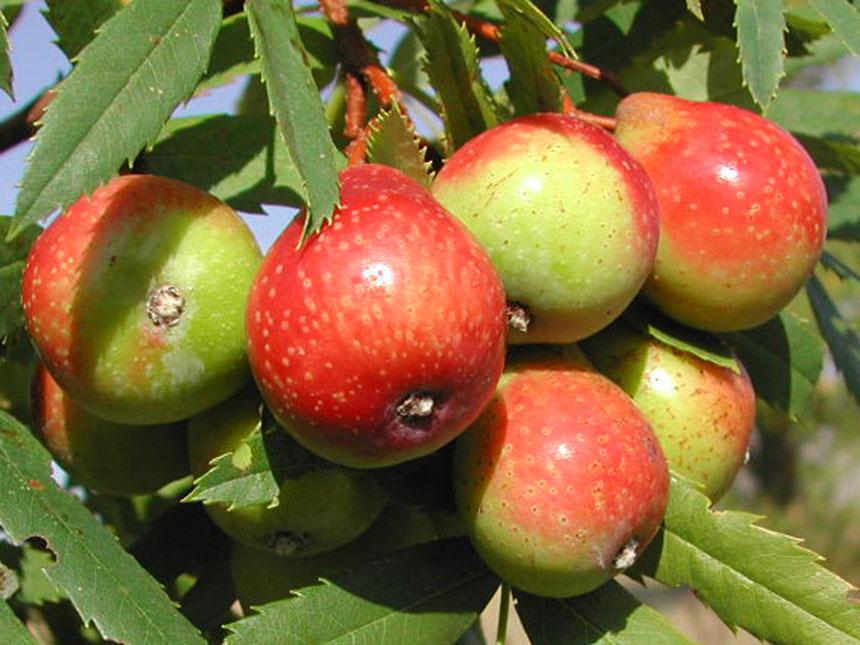 Sorbo da frutto sorbus domestica for Piante da frutto