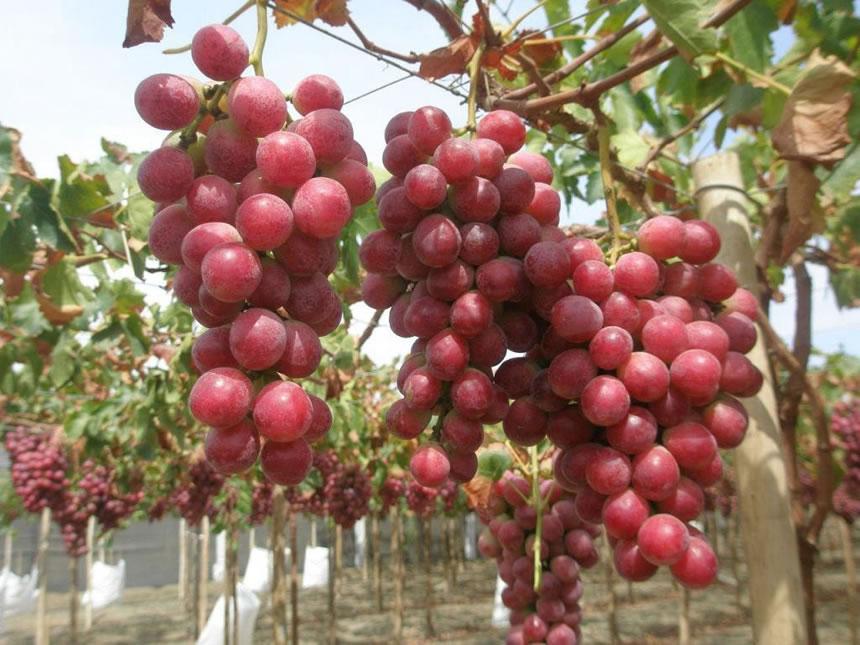 Vite red globe vitis vinifera - Red globe uva da tavola ...