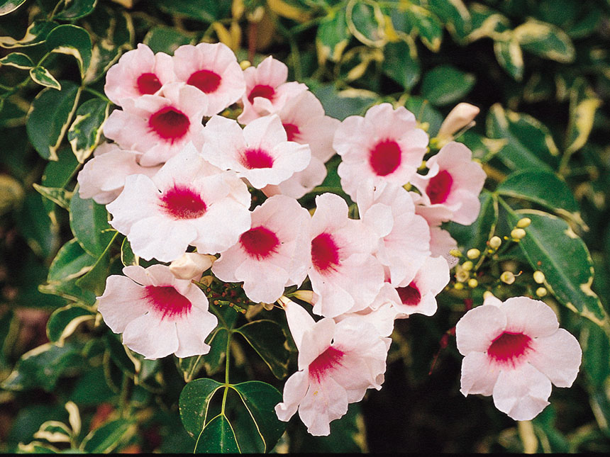 Pandorea pandorea jasminoides - Rampicanti a crescita rapida ...