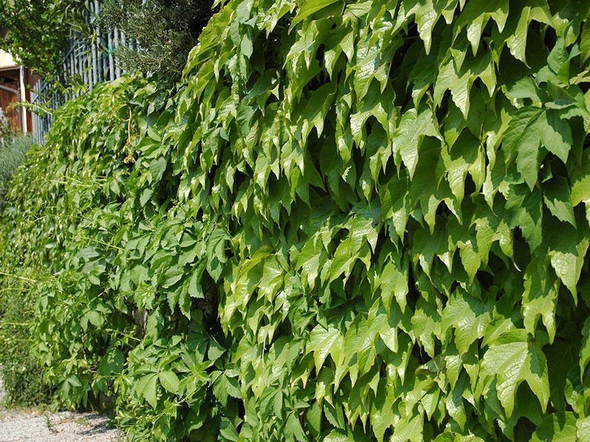 Vite canadese vite americana ampelopsis parthenocissus - Foglia canadese contorno foglia canadese ...