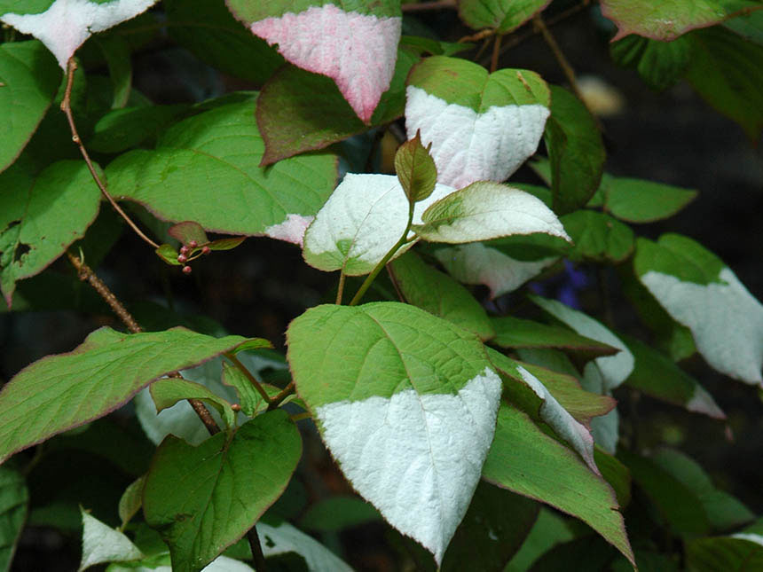 Actinidia actinidia kolomikta for Migliori piante da terrazzo