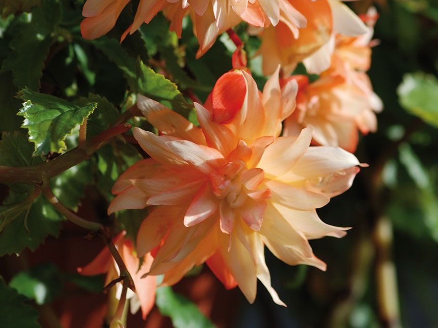 Begonia begonia ibrida nana pendula for Migliori piante da terrazzo