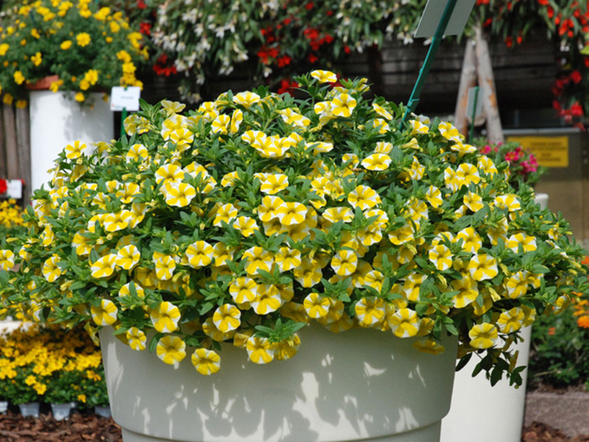 Calibrachoa petunia nana calibrachoa for Migliori piante da terrazzo