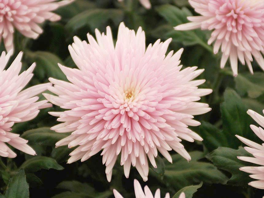 Crisantemo chrysanthemum varie specie - Piante terrazzo autunno ...