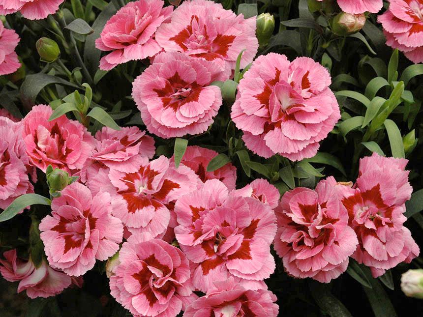 Garofanino dianthus varie specie e ibridi for Fiori per balconi soleggiati