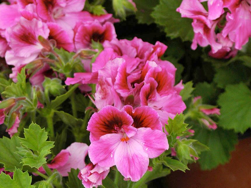 geranio imperiale pelargonium macranthus