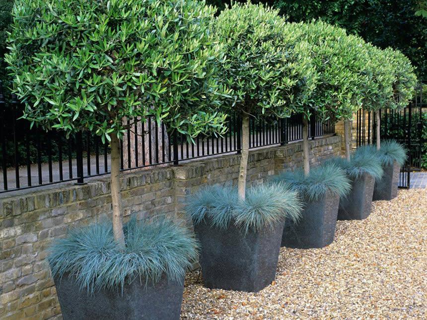 Olivo olea europaea for Piante da giardino alte 2 metri