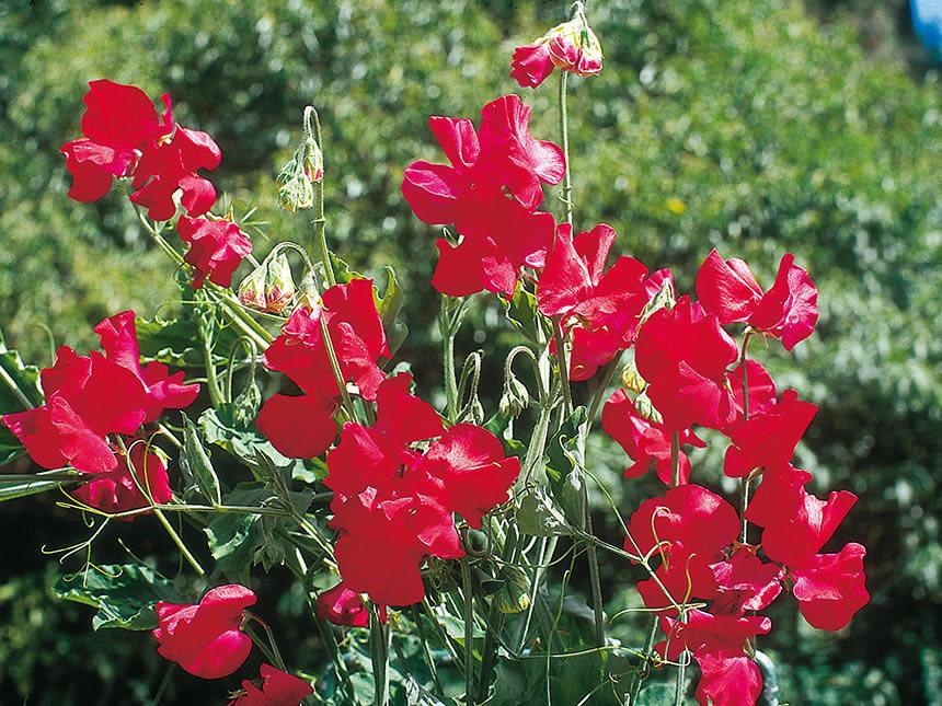 Piante Rampicanti Con Fiori : Pisello odoroso lathyrus odoratus giardinaggio