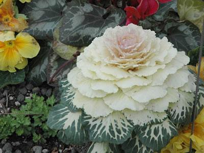 Piante da terrazzo elenco piante for Cavolo ornamentale