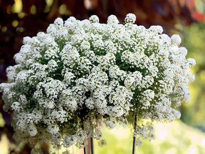 Lobularia PW  'Snow Princess'
